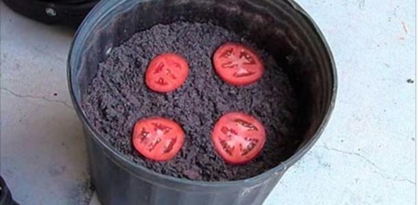 tomate_-_plantar